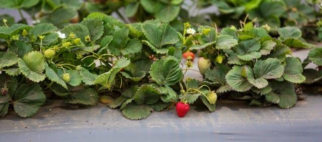 CA Strawberry Farm Tour