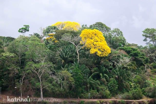 The Guayacan Tree in Panama
