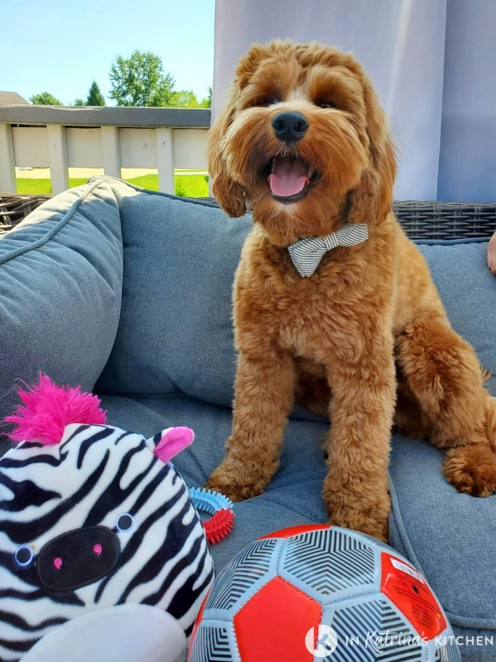 dog sitting outside on a couch smiling with toys